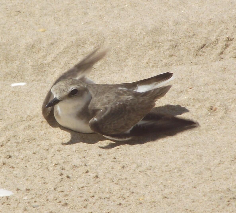 Female Kentish Plover in display